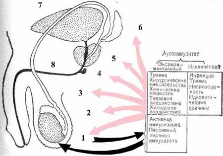 Схема спермы у мужчины