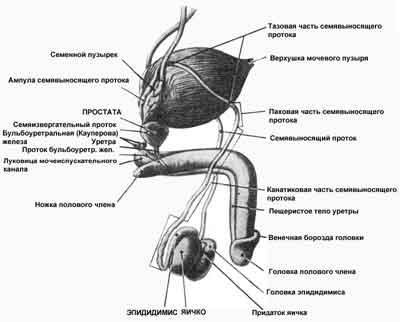 Половые органы мужчины