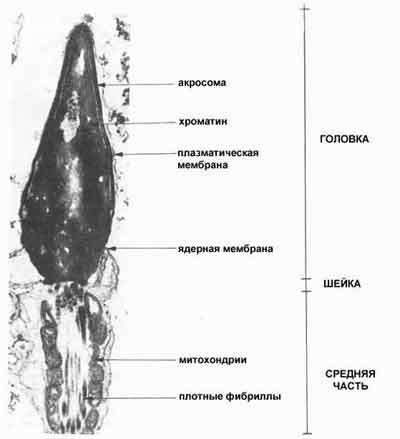 verhnyaya-chast-golovki-spermatozoida