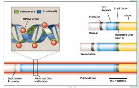 Неслучайная инактивация х-хромосомы и беременность
